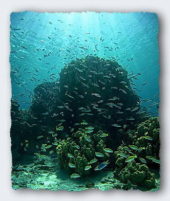 Clouds of small fish hover over the reef, collecting plankton from the sea. They pass on the phosphate wastes to the coral by dropping pellets of wastes onto the reef.