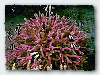 A small coral head with it's associated damsel fish is a microcosm of the association of reef fishes with coral reef ecosystems.