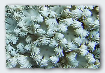 A large solitary polyp coral, Fungia, is distorted on the side closest to a colony of Goniopora coral. The smaller polyps from the Goniopora have defended their territory on the reef by sending out slender digestive filaments whenever the Fungia grew too close.