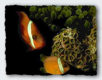 A clown fish in its friendly anenome. The largest fish is always the female. If she dies one of the next largest fish will change from male to female to replace her. � http://www.this-magic-sea.com/order.html