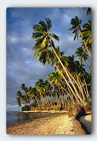 Coconut trees - The dream is not within the seed.