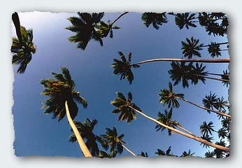 Looking up the skirts of coconut trees can be dangerous in high winds.