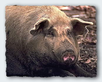 Wallis Island Pigs are huge and are said to be able to catch fish. � http://www.this-magic-sea.com/order.html